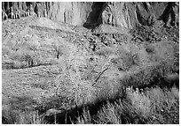 Sandstone cliffs and desert cottonwoods in winter. Capitol Reef National Park, Utah, USA. (black and white)