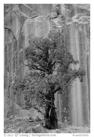 Tree and rock wall, Grand Wash. Capitol Reef National Park (black and white)