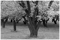 Historic Mulford Orchard, late summer. Capitol Reef National Park ( black and white)