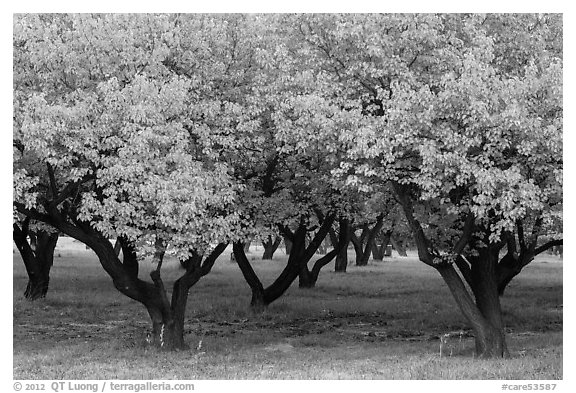 Fruit trees in Mulford Orchard. Capitol Reef National Park (black and white)