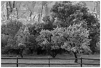 Fruit trees in historic orchard and red cliffs. Capitol Reef National Park, Utah, USA. (black and white)
