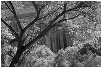 Cottonwood and red cliffs in late summer. Capitol Reef National Park ( black and white)