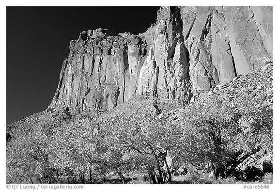 Cottonwods in fall colors and tall cliffs near Fruita. Capitol Reef National Park (black and white)