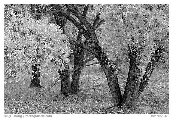 Orchard trees in fall colors, Fuita. Capitol Reef National Park (black and white)