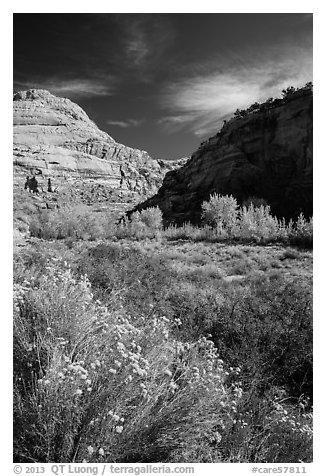 Blooming sage and cottonwoods in autum colors, Fremont River Canyon. Capitol Reef National Park (black and white)