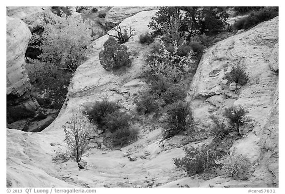 Shrubs with fall foliage and sandstone ledges. Capitol Reef National Park (black and white)