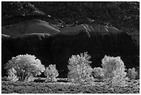 Cottonwood trees in the fall against shale. Capitol Reef National Park, Utah, USA. (black and white)