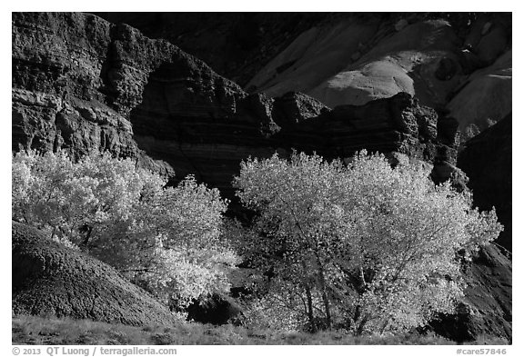 Cottonwood trees in autumn, Moenkopi Formation and Monitor Butte rocks. Capitol Reef National Park (black and white)