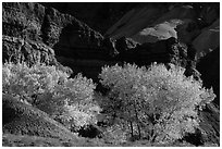 Cottonwood trees in autumn, Moenkopi Formation and Monitor Butte rocks. Capitol Reef National Park, Utah, USA. (black and white)