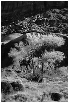 Basalt boulders, Cottonwoods in fall, cliff base. Capitol Reef National Park, Utah, USA. (black and white)
