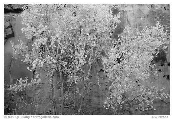 Aspen in fall foliage against red sandstone cliff. Capitol Reef National Park (black and white)