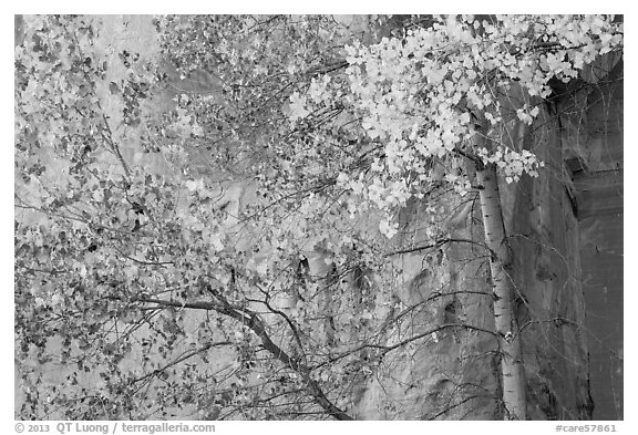 Aspen in fall foliage against red cliff. Capitol Reef National Park (black and white)