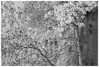 Aspen in fall foliage against red cliff. Capitol Reef National Park ( black and white)