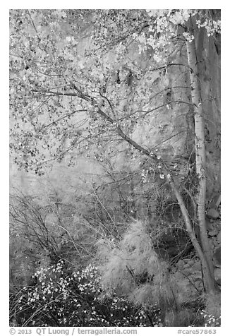 Tree and shrubs in autumn foliage against red cliff. Capitol Reef National Park (black and white)