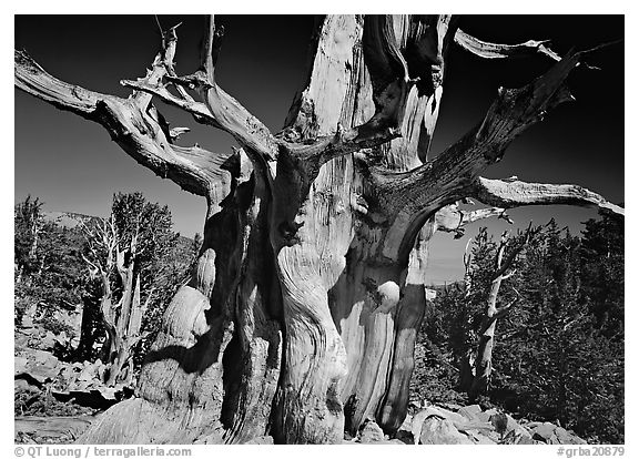 Bristelecone pine grove at the base of Wheeler Peak. Great Basin National Park (black and white)