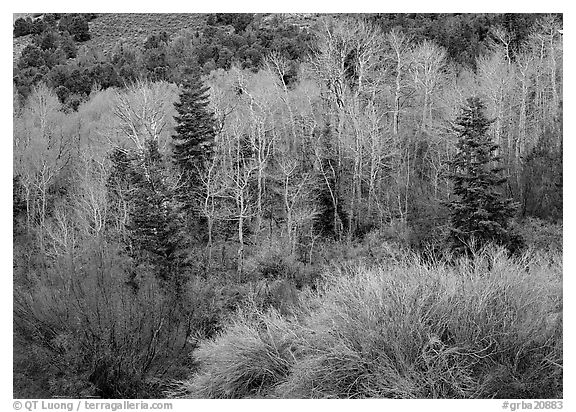 Tapestry of shrubs and trees in early spring. Great Basin  National Park (black and white)