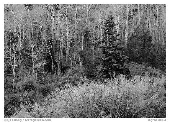 Trees just leafing out amongst bare trees. Great Basin National Park (black and white)
