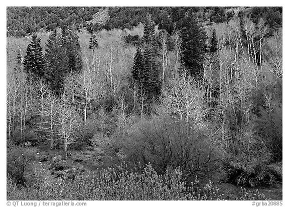 Bare trees, new leaves, and conifers. Great Basin National Park (black and white)