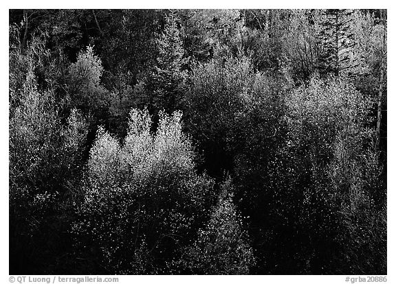 Autumn colors, Windy Canyon, late afternoon. Great Basin National Park (black and white)