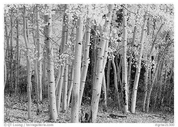 Aspens, Windy Canyon, autumn. Great Basin  National Park (black and white)