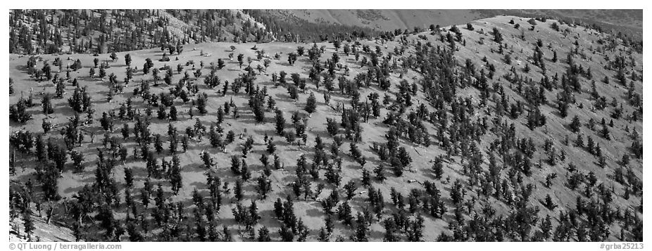 Hillside with Bristlecone pine forest. Great Basin National Park (black and white)