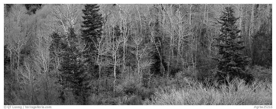 Spring mosaic of trees. Great Basin National Park (black and white)