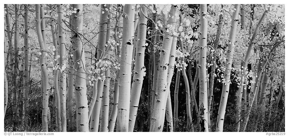 Autumn aspens, Windy Canyon, Snake Creek. Great Basin National Park (black and white)