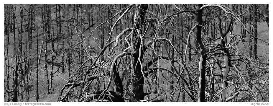Burned trees landscape. Great Basin National Park (black and white)
