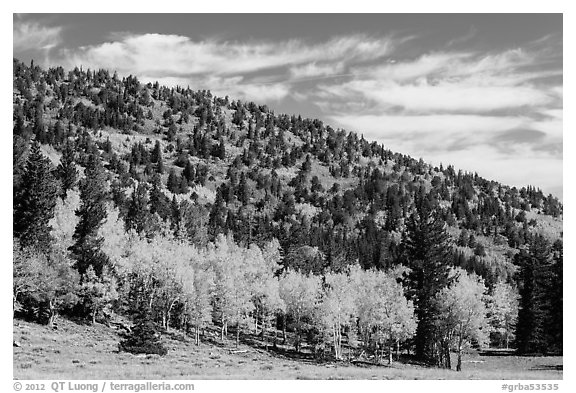 Mixed forest in autumn foliage. Great Basin National Park (black and white)