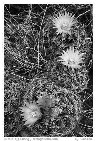 Cactus and pink blooms. Great Basin National Park (black and white)