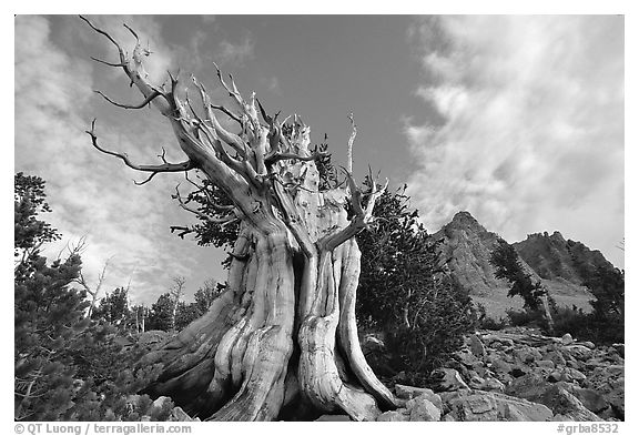 Bristlecone Pine tree, Wheeler Peak Basin, afternoon. Great Basin National Park (black and white)