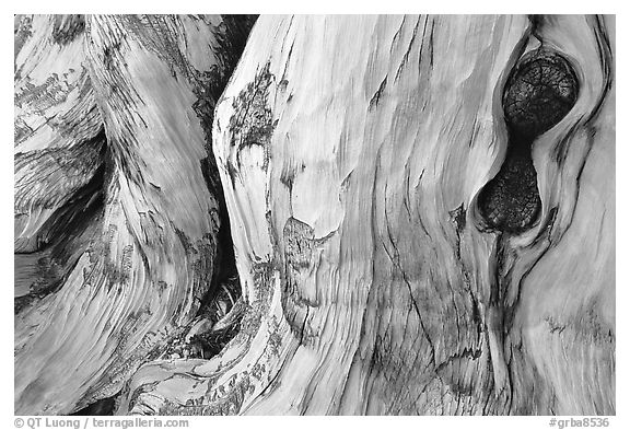 Detail of Bristlecone pine trunk. Great Basin National Park (black and white)