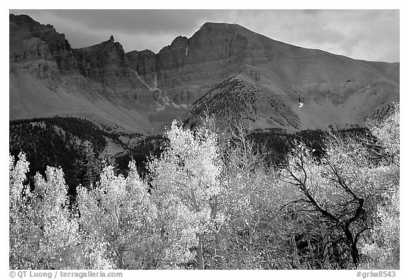 Aspens in fall foliage and Wheeler Peak. Great Basin National Park (black and white)