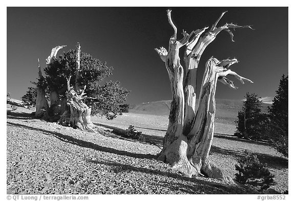 Bristlecone Pine trees, Mt Washington, early morning. Great Basin National Park (black and white)