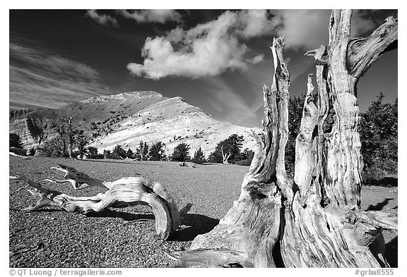 Weathered Bristlecone Pine squeleton and Mt Washington, morning. Great Basin National Park (black and white)