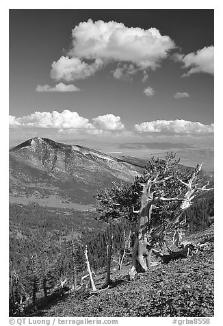 Bristlecone pine trees and Highland ridge, afternoon. Great Basin National Park (black and white)