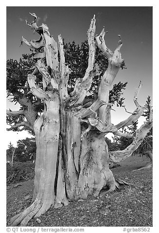 Ancient Bristlecone pine tree. Great Basin National Park (black and white)