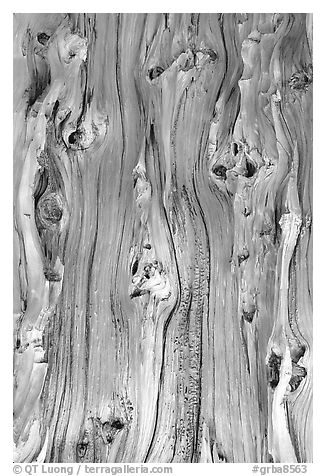 Detail of trunk of Bristlecone pine tree. Great Basin National Park (black and white)