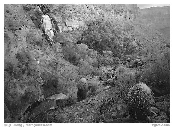 Barrel cacti and Thunder Spring, early morning. Grand Canyon National Park (black and white)