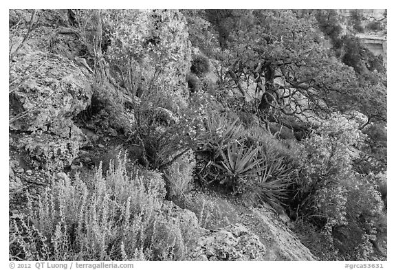 Pinyon pine and juniper zone vegetation zone. Grand Canyon National Park (black and white)