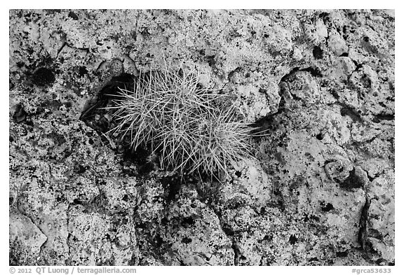 Cactus growing on rock with lichen. Grand Canyon National Park (black and white)