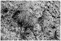 Cactus growing on rock with lichen. Grand Canyon National Park ( black and white)