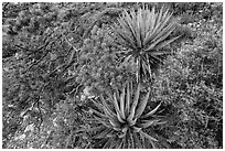 Narrowleaf yuccas and pinyon pine. Grand Canyon National Park, Arizona, USA. (black and white)