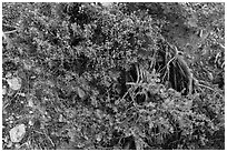 Ground close-up with shrubs and juniper. Grand Canyon National Park ( black and white)
