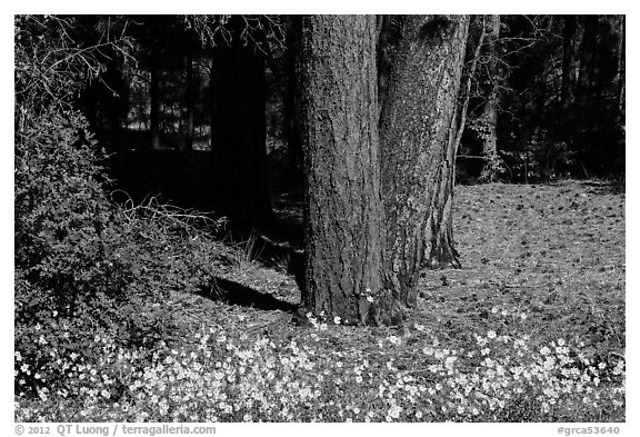 Flowers and Ponderosa pine tree trunks. Grand Canyon National Park (black and white)