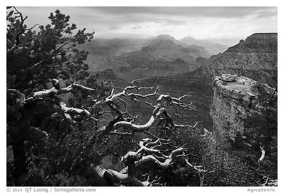 Snow on branches and Grand Canyon with clouds. Grand Canyon National Park (black and white)