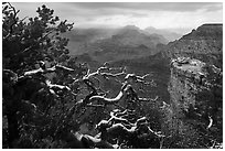 Snow on branches and Grand Canyon with clouds. Grand Canyon National Park ( black and white)