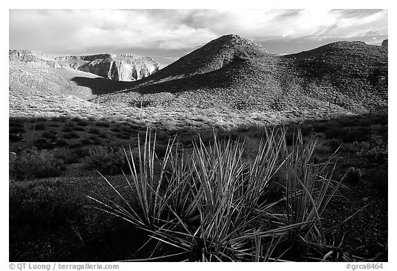 Cacti in Surprise Valley, late afternoon. Grand Canyon National Park (black and white)