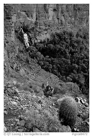 Barrel cactus and Thunder Spring, early morning. Grand Canyon National Park (black and white)