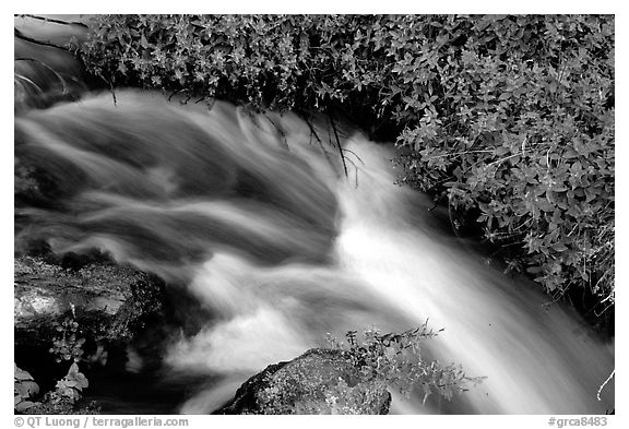 Thunder River stream with red flowers. Grand Canyon National Park (black and white)